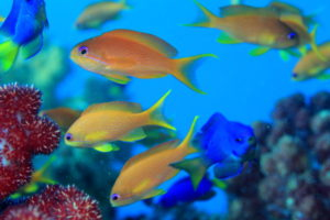 Neon Damselfish and Lyretail Coralfish